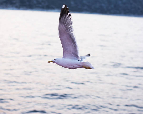 Island Poster featuring the photograph Seagulls Flying by Newnow Photography By Vera Cepic