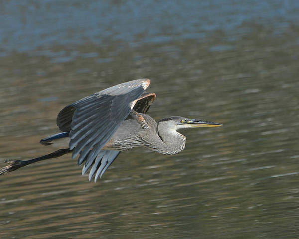 Great Blue Heron Poster featuring the photograph Slingshot by Fraida Gutovich