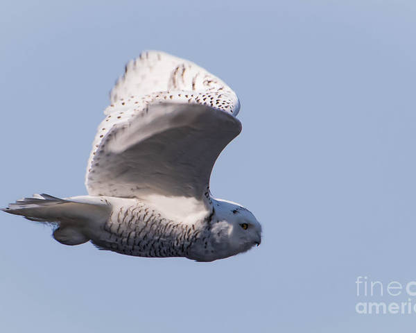 Snowy Owl Poster featuring the photograph Snowy Owl by Ronald Grogan