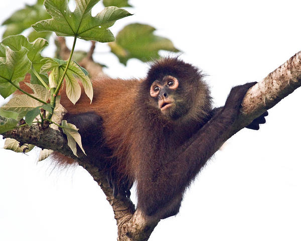 Spider Monkey Poster featuring the photograph Spider Monkey by Larry Linton
