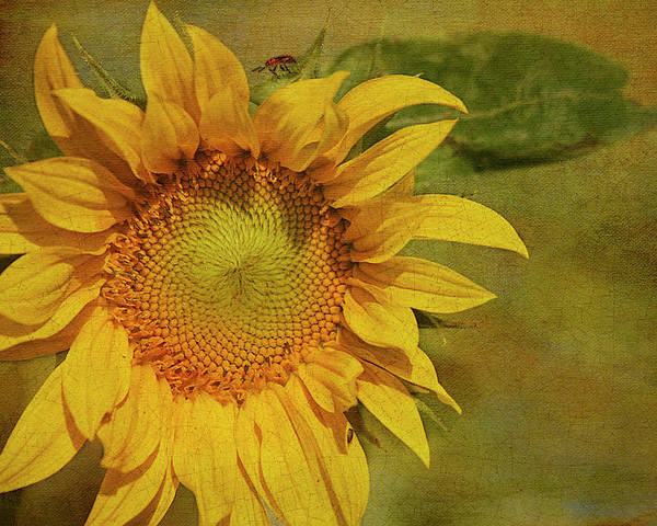 Sunflower Poster featuring the photograph Sunflower by Cindi Ressler