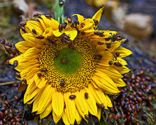 Sunflower Poster featuring the photograph Sunflower Covered In Ladybugs by Garry Gay