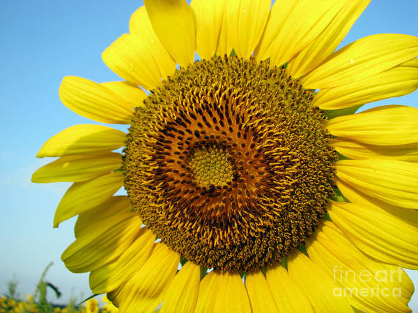 Sunflower Poster featuring the photograph Sunflower Series by Amanda Barcon