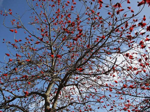Red Poster featuring the photograph Tree In Benalmadena by Chani Demuijlder