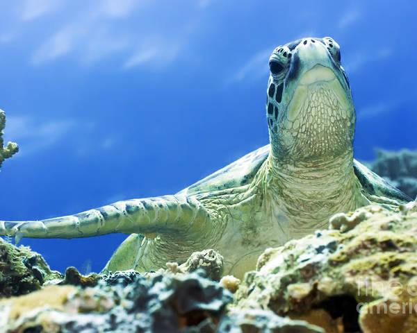 Turtle Poster featuring the photograph Turtle by MotHaiBaPhoto Prints