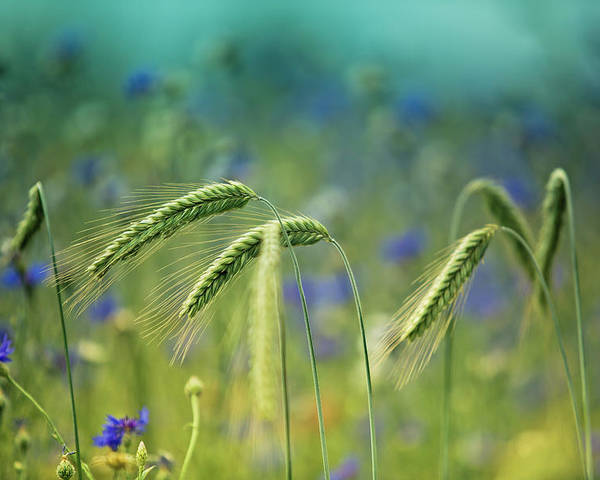 Wheat Poster featuring the photograph Wheat And Corn Flowers by Nailia Schwarz
