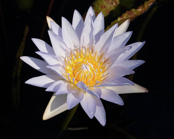 Water Lily Poster featuring the photograph White Water Lily by Steve Stuller