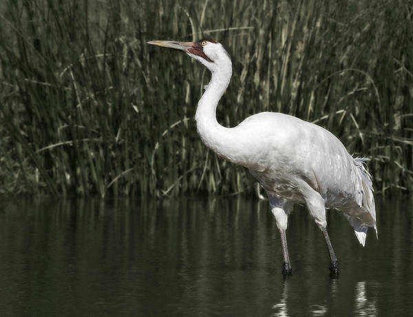Whooping Poster featuring the photograph Whooping Crane by Al Mueller