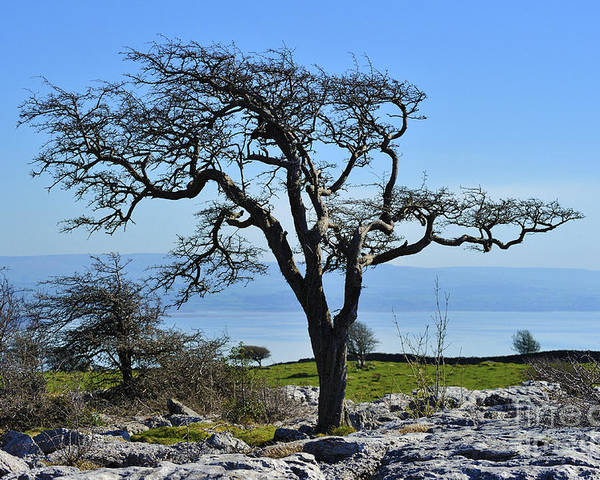 Wind Distorted Hawthorn Tree Limestone Sea Poster featuring the photograph Wind Distorted Tree. by Stan Pritchard
