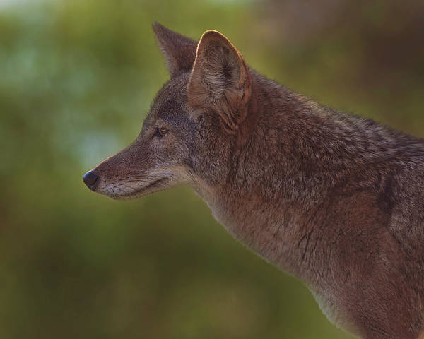 Animal Poster featuring the photograph Coyote by Brian Cross