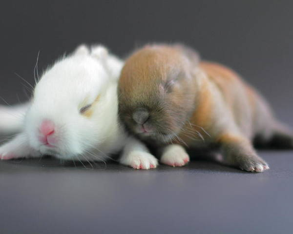 Horizontal Poster featuring the photograph 11 Day Old Bunnies by Copyright Crezalyn Nerona Uratsuji