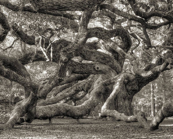 Angel Oak Poster featuring the photograph Angel Oak Live Oak Tree by Dustin K Ryan