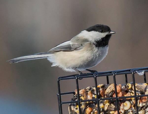 Chickadee Poster featuring the photograph Black Capped Chickadee by Dee Carpenter