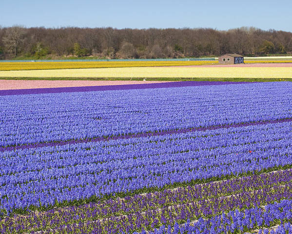 Agriculture Poster featuring the photograph Hyacinths Fields by Andre Goncalves