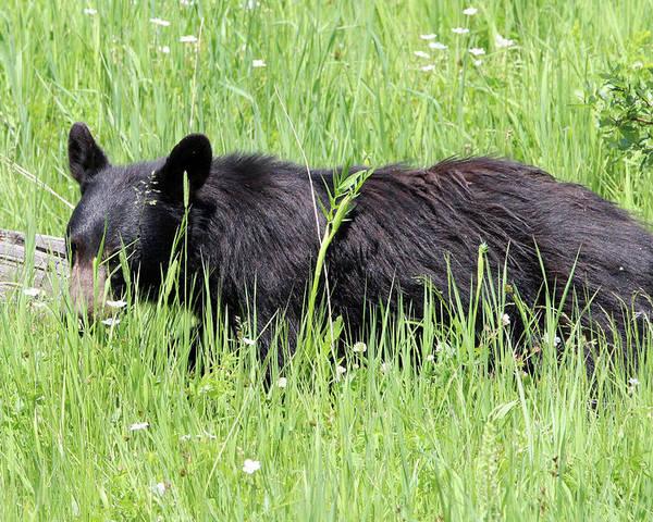 American Black Bear Poster featuring the photograph American Black Bear Yellowstone Usa by Bob Savage