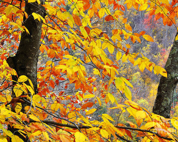 Autumn Poster featuring the photograph Autumn Beech Leaves by Thomas R Fletcher