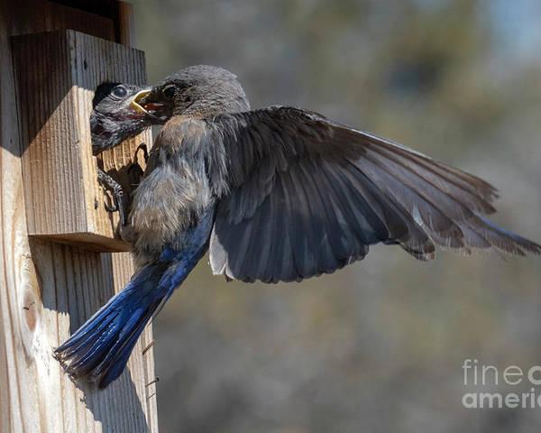 Bluebird Poster featuring the photograph Beak To Beak by Mike Dawson
