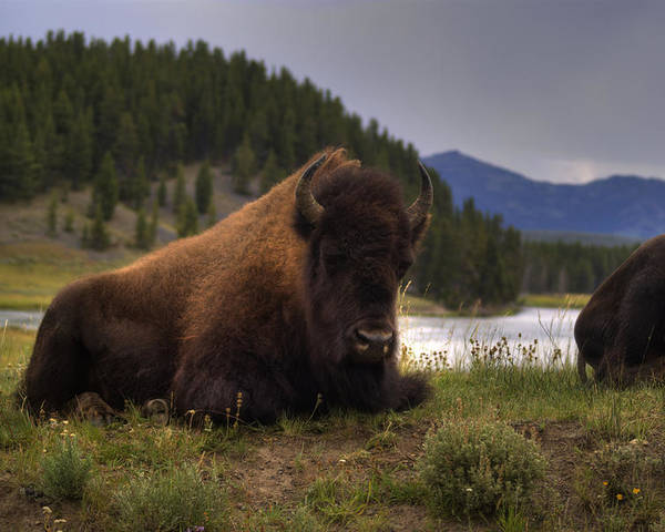 Bison Poster featuring the photograph Bison by Patrick Flynn