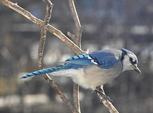 Nature Poster featuring the photograph Blue Jay by Raju Alagawadi