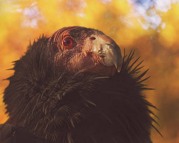 Animal Poster featuring the photograph California Condor by Brian Cross