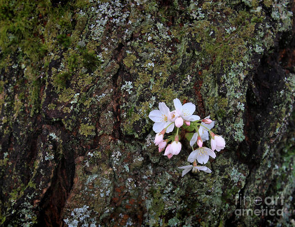 Cherry Blossom Poster featuring the photograph Cherry Blossoms by Tari Simmons