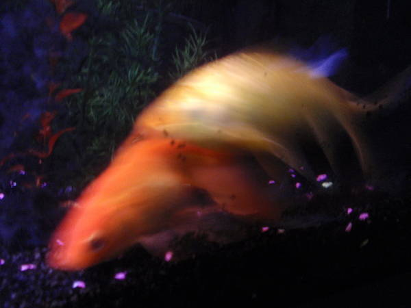 Poster featuring the photograph Fire Comet In Aquarium by Valia Bradshaw