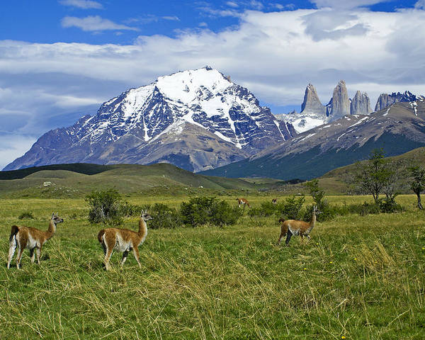 Patagonia Poster featuring the photograph Guanacos In Torres Del Paine by Michele Burgess