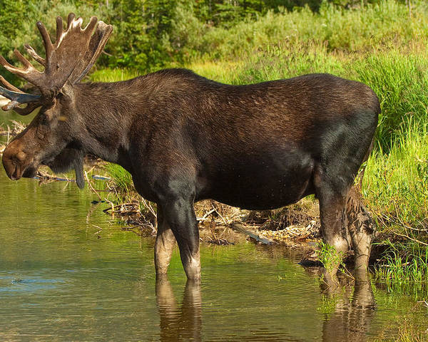 Bull Moose Poster featuring the photograph Moose by Sebastian Musial