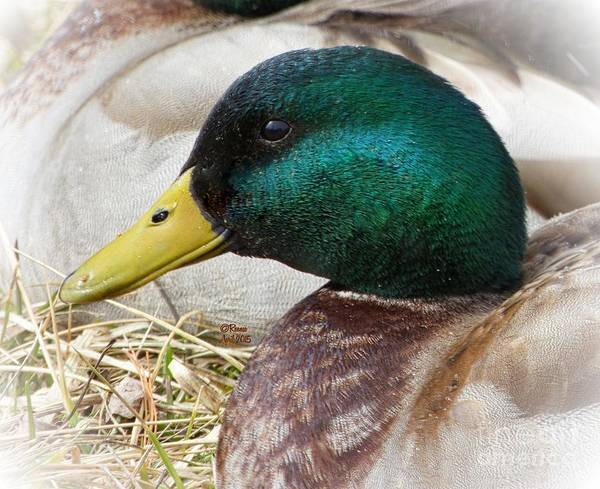 Ducks Poster featuring the photograph My Best Side by Rennae Christman