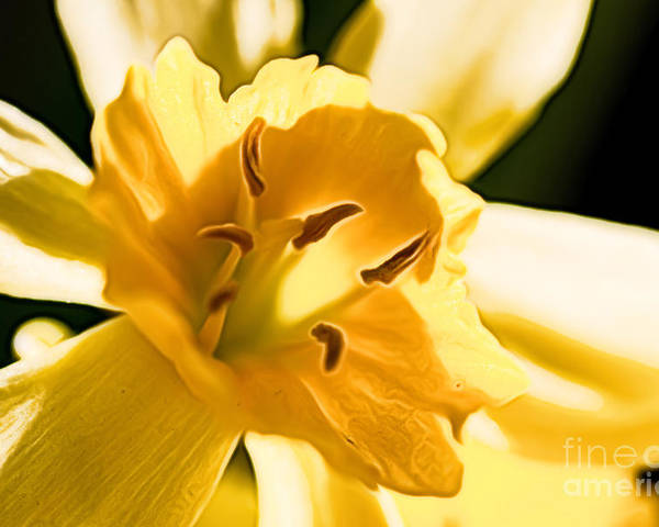 Narcissus Poster featuring the photograph 10553 Narcissus Superstar - Flower 080 by Colin Hunt