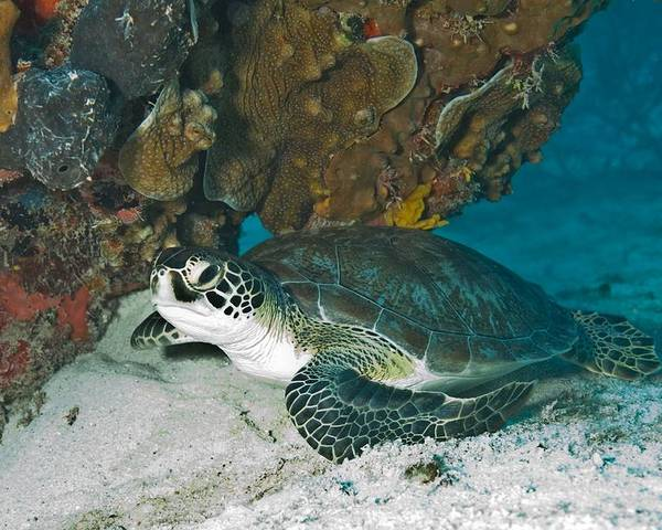 Underwater Poster featuring the photograph Sea Turtle by FL collection