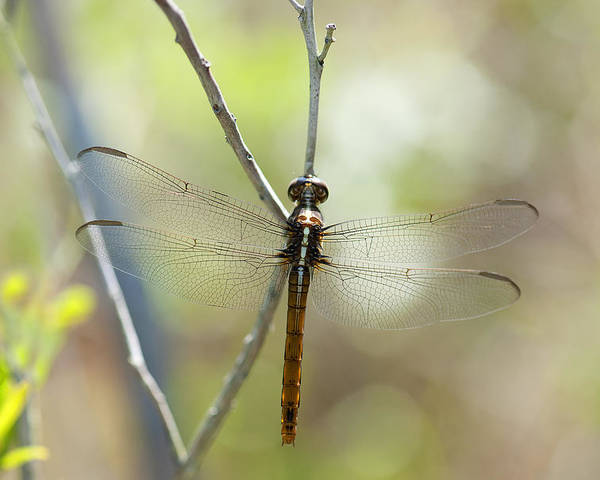 Artistic Poster featuring the photograph Dragonfly by Gouzel -