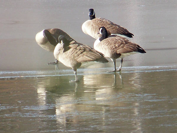 Canadian Geese Poster featuring the photograph 2004-geese On Ice by Martha Abell