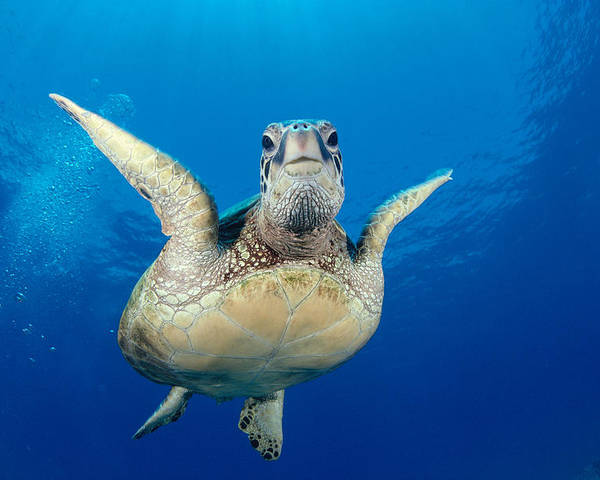 A77a Poster featuring the photograph Green Sea Turtle by Dave Fleetham - Printscapes