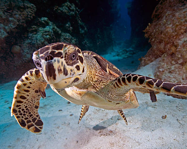Turtle Poster featuring the photograph Cayman Islands by Larry Gohl
