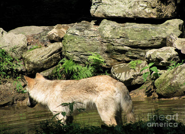 Water Park Poster featuring the photograph The Wild Wolve Group A by Debra   Vatalaro
