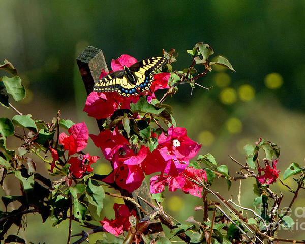 Butterfly Poster featuring the photograph Butterfly by Marc Bittan