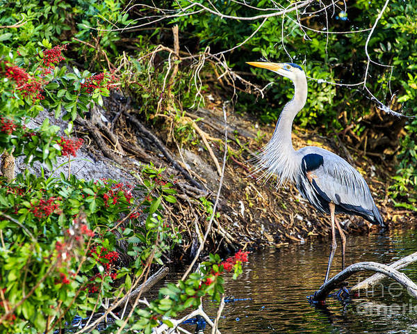 Great Blue Heron Poster featuring the photograph Great Blue Heron by Ben Graham
