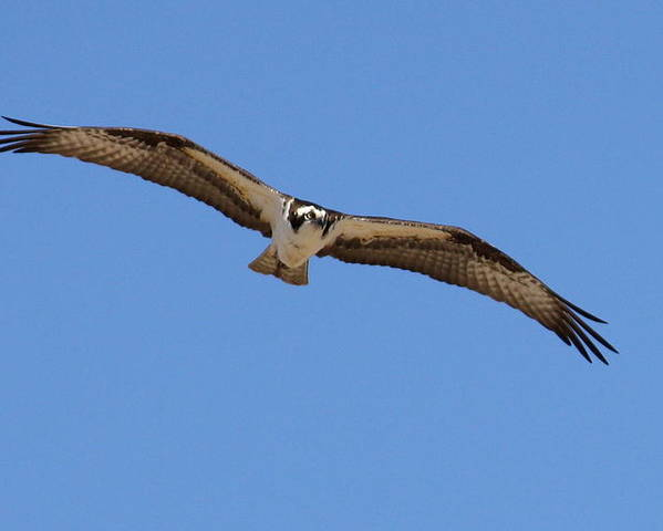 Osprey Poster featuring the photograph Osprey by Annie Babineau