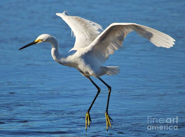 Great Blue Heron Poster featuring the photograph Snowy Egret In Flight by Paulette Thomas