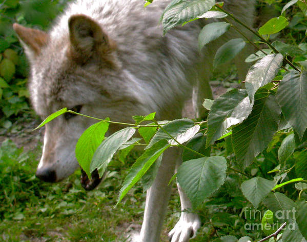 Wild Wolves Group B Poster featuring the photograph The Wild Wolve Group B by Debra   Vatalaro