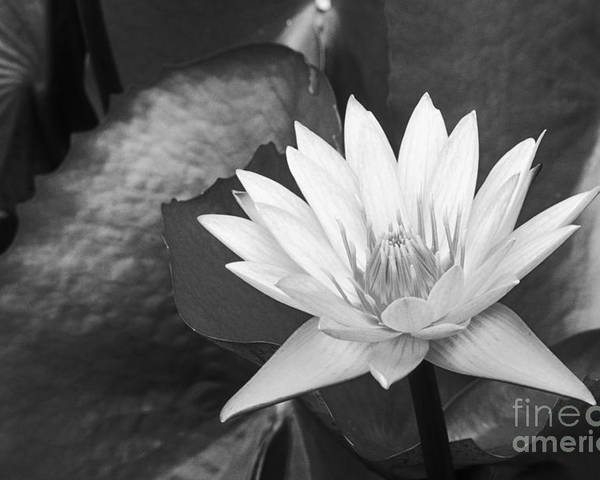 Art Medium Poster featuring the photograph Water Lily by Bill Brennan - Printscapes