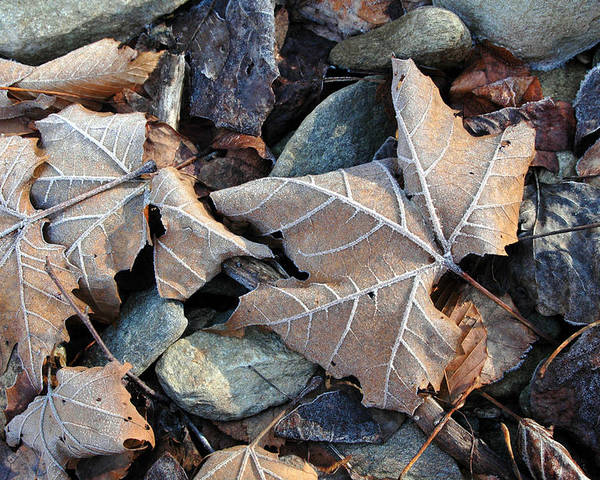 Leaf Poster featuring the photograph Untitled by Kathy Schumann