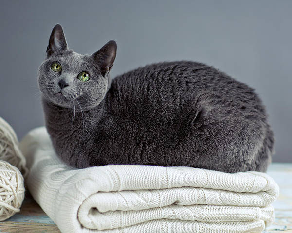 Purebred Poster featuring the photograph Russian Blue by Nailia Schwarz