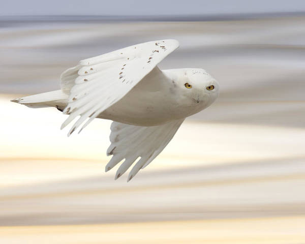 Owl Poster featuring the photograph Snowy Owl In Flight by Mark Duffy