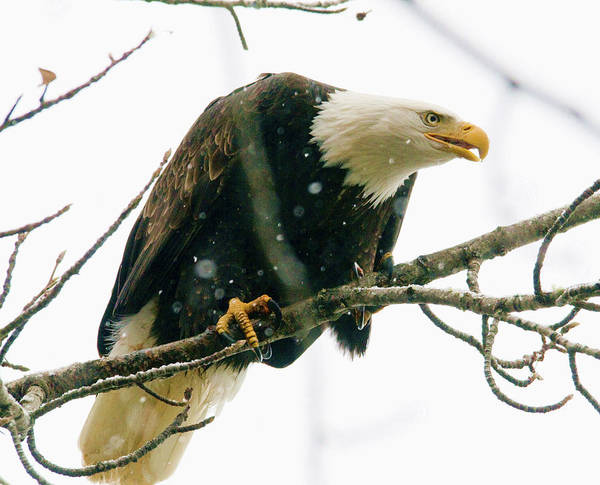 Eagles Poster featuring the photograph Eagle In A Tree by Clarence Alford