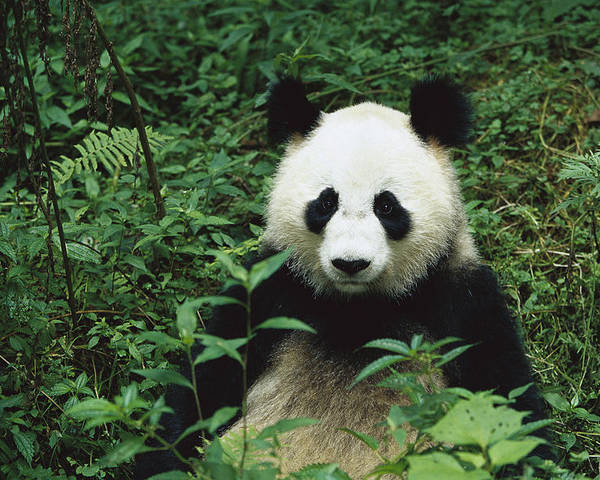 Mp Poster featuring the photograph Giant Panda Ailuropoda Melanoleuca by Cyril Ruoso