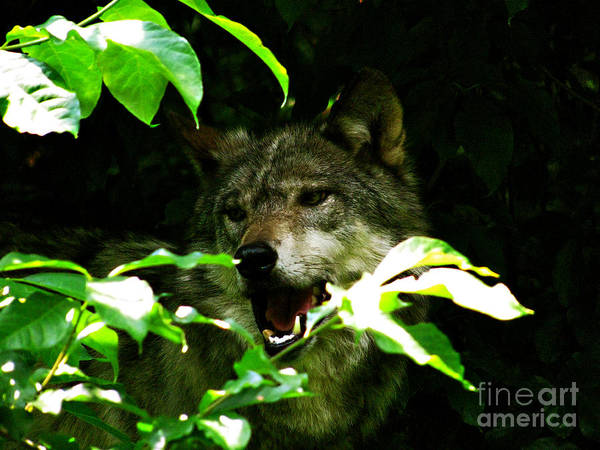 Alot Of Use Wolves Poster featuring the photograph The Wild Wolve Group B by Debra   Vatalaro