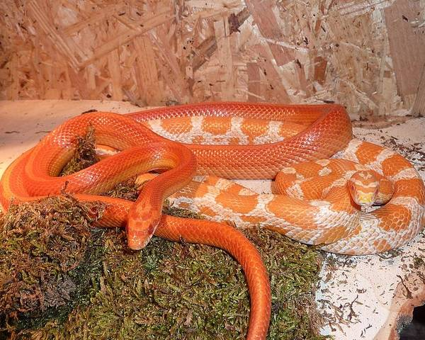 Corn Poster featuring the digital art Corn Snake by FL collection