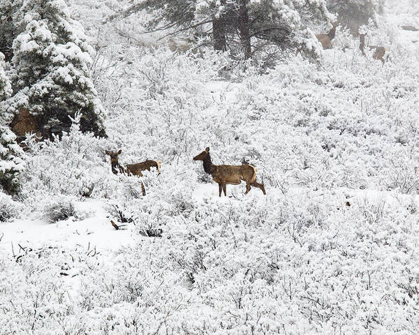 Elk Poster featuring the photograph Elk In Deep Snow In The Pike National Forest by Steve Krull